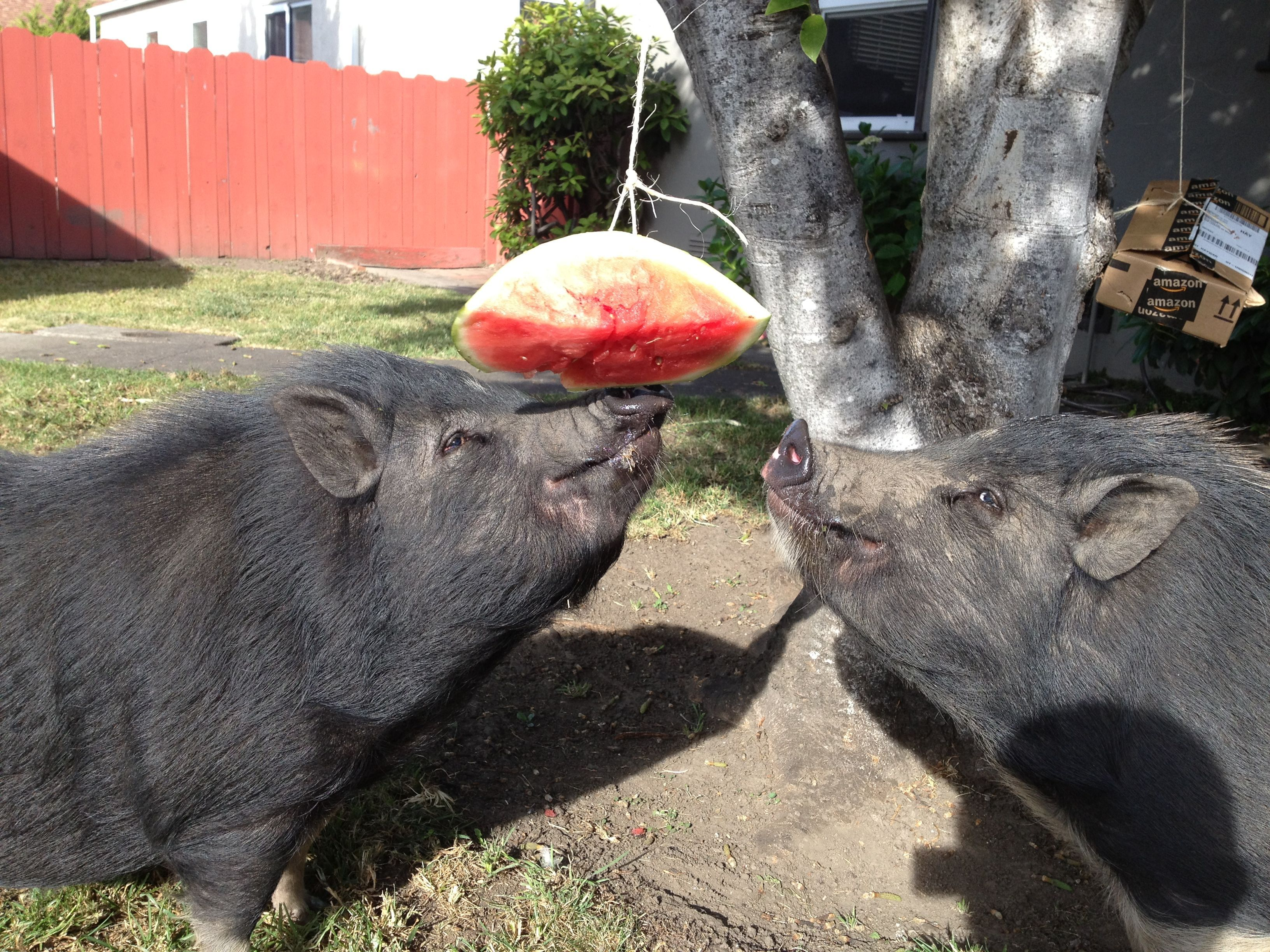 P Here S A List Of Enrichment Ideas For Your Pet Pig Please Contact Us If You Have Anything To Add To Our List Pig Enr Pot Belly Pigs Pet Pigs Pet