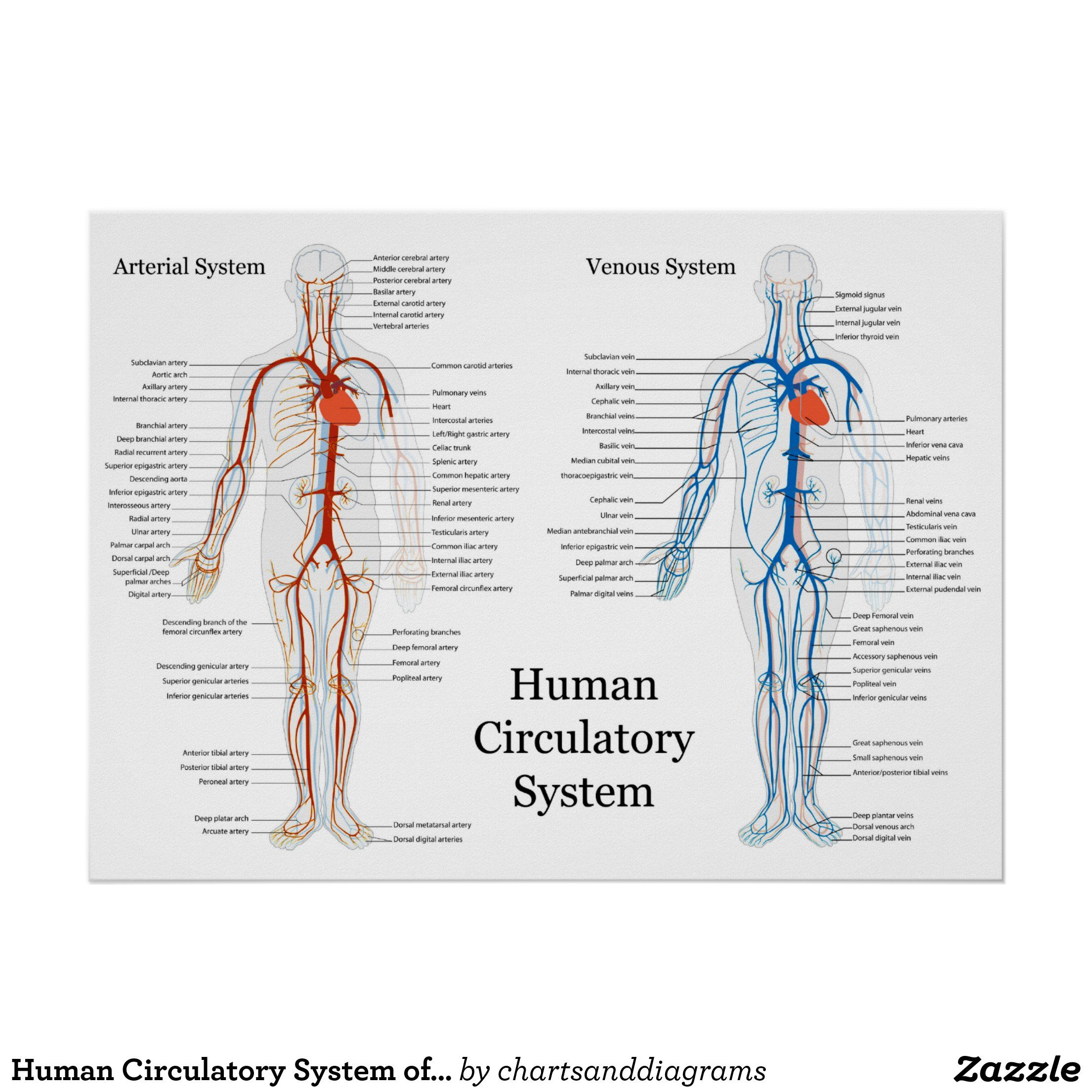 Human Circulatory System of Arteries and Veins Poster   Zazzle.com ...