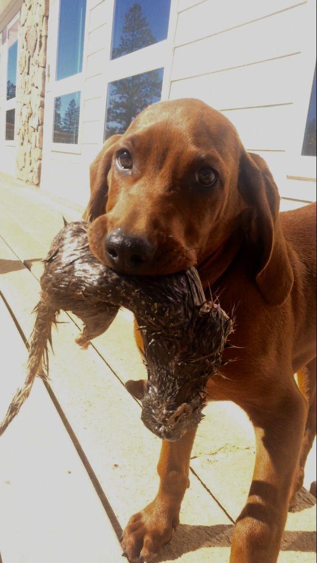 Redbone Coonhound Puppy 3 Months Old Cabela Showing Off Her