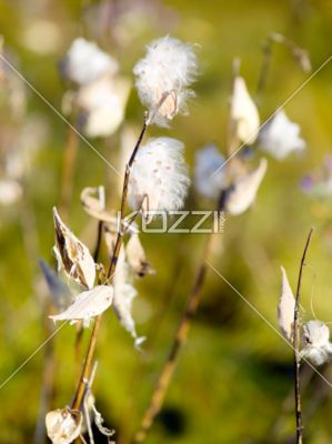 fluffy seed pods - The fluff on the seeds will allow them to travel with the wind.
