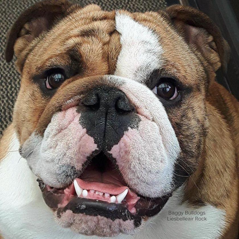All About English Bulldogs Bulldogs Bulldog Breeds Bulldog