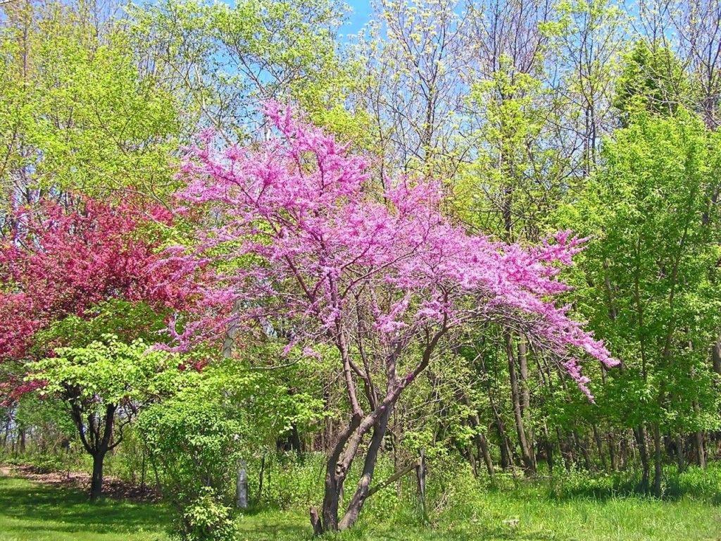 Arkansas State Flower Apple Tree Blossoms Colors Range From