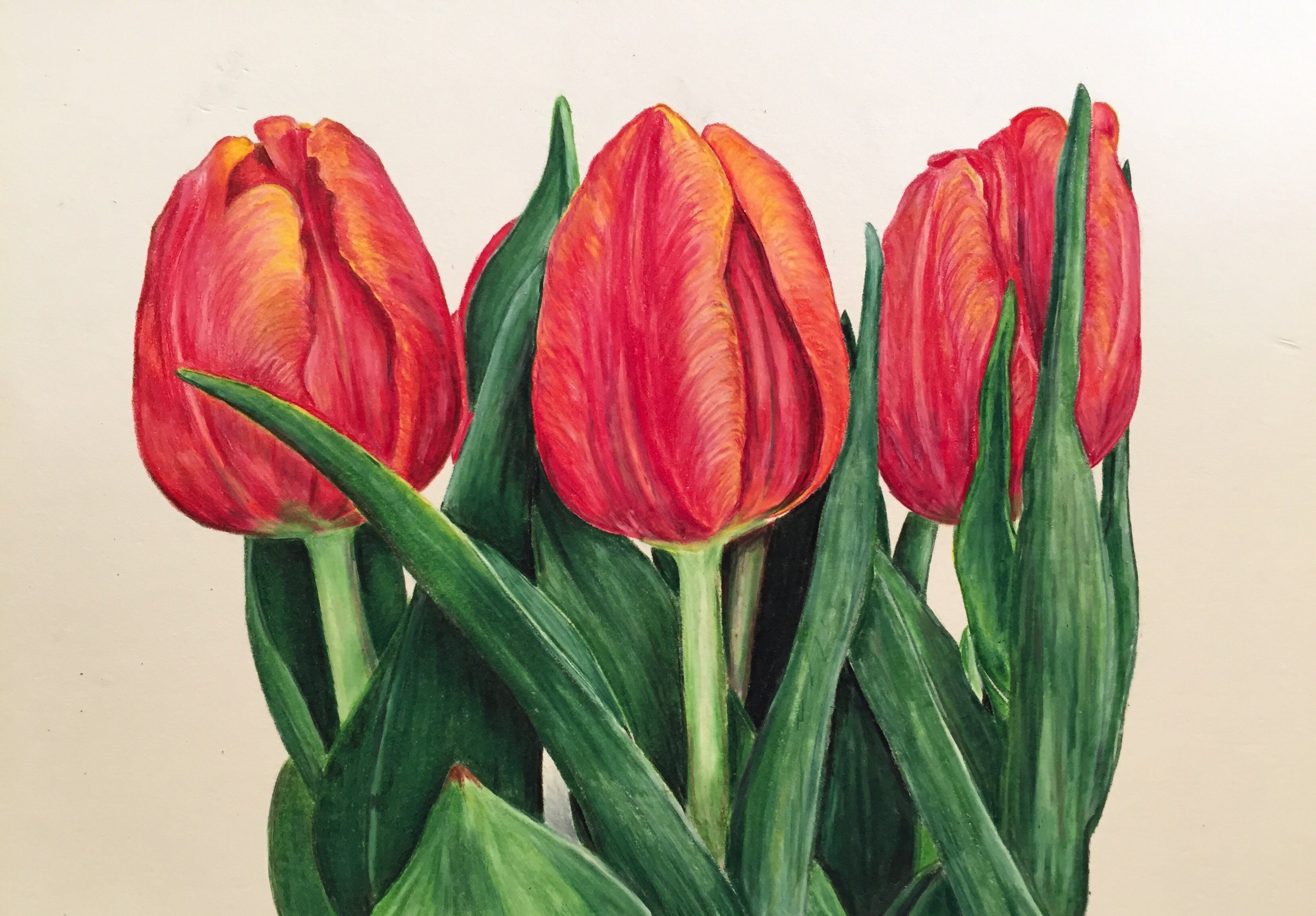 Prismacolor colored pencil tulip speed drawing youtube drawings