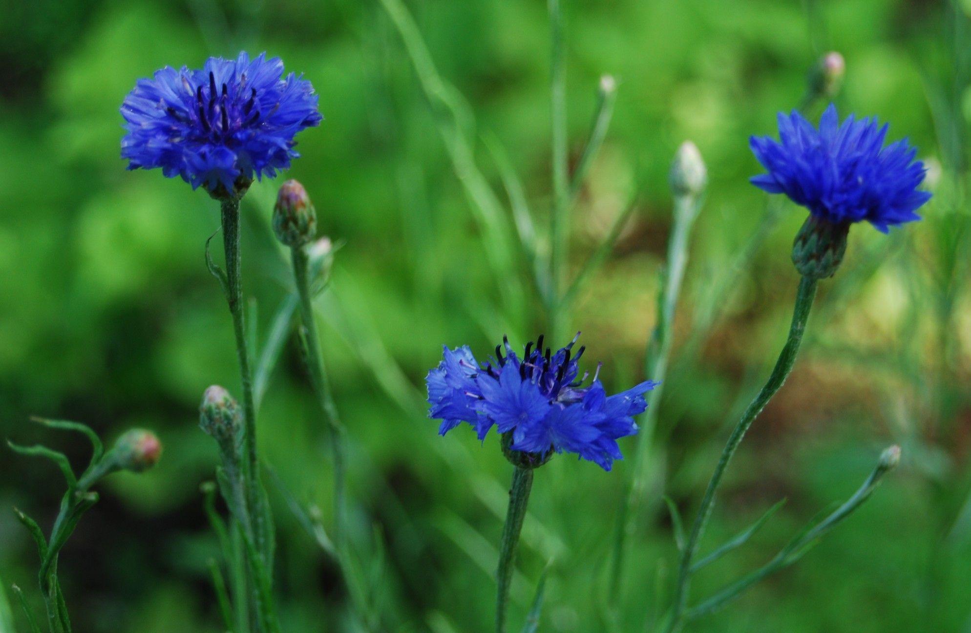 Blue Cornflower German National Flower Tattoo Pinterest