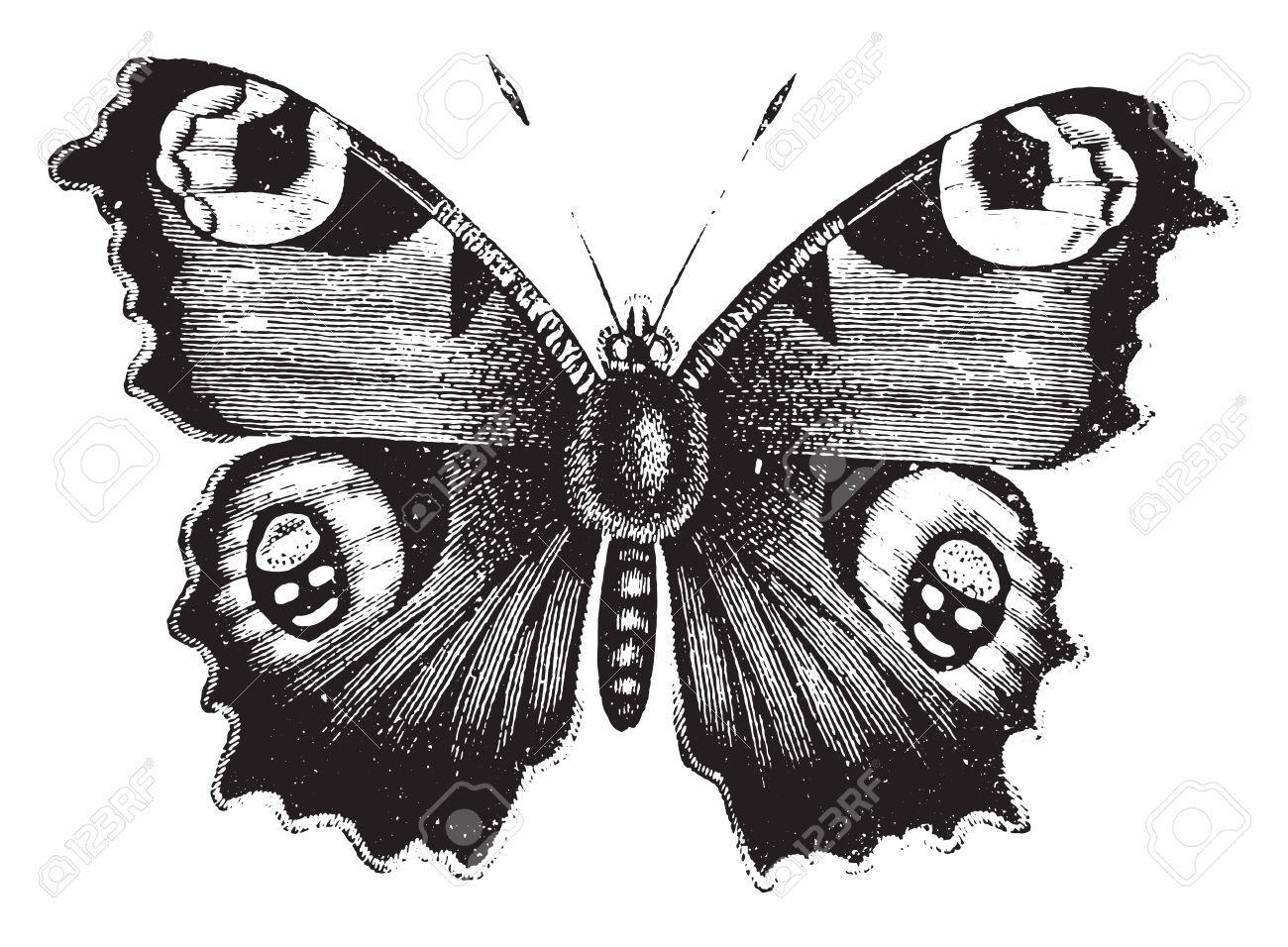 Vanessa Tagpfauenauge Jahrgang Gravierte Darstellung Naturgeschichte Von Tieren 1880 Tagpfauenauge Schmetterling Illustration Schmetterlingszeichnung