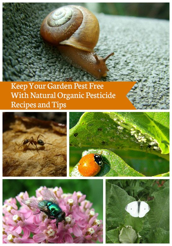 Sage N #Frugal #Garden #Tips   Keep your garden pest free with natural pest control, read details of organic pesticides spray recipes and tips at http://ow.ly/oG7II for all-natural and inexpensive organic methods for making bug-busting pesticides for your home garden.