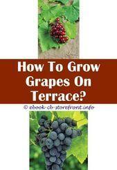 Concord Grape Trellis  How To Grow A Grape Vine Outdoors?  3 Safe Cool Ideas: B#...#concord #cool #grape #grow #ideas #outdoors #safe #trellis #vine