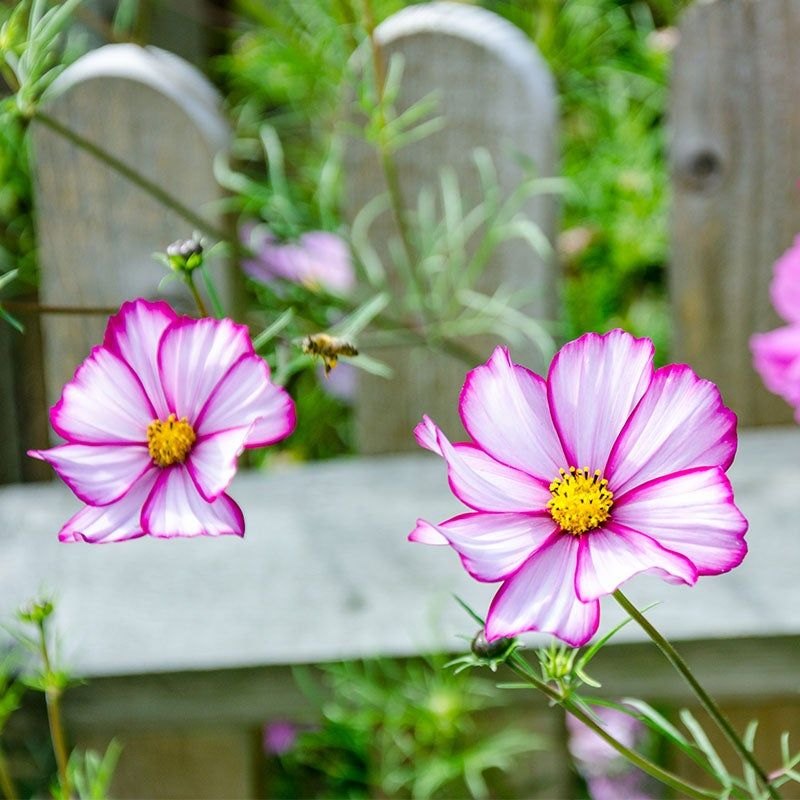 Cosmos Seeds Candystripe Cosmos Plant Flower Seeds Big Blooms