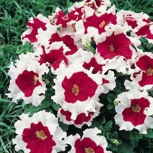 Pin On Ideas Annuals For Containers And Color