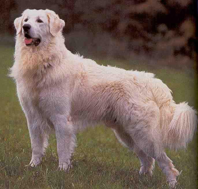 What S That Big White Dog Kuvasz Family Dogs Breeds