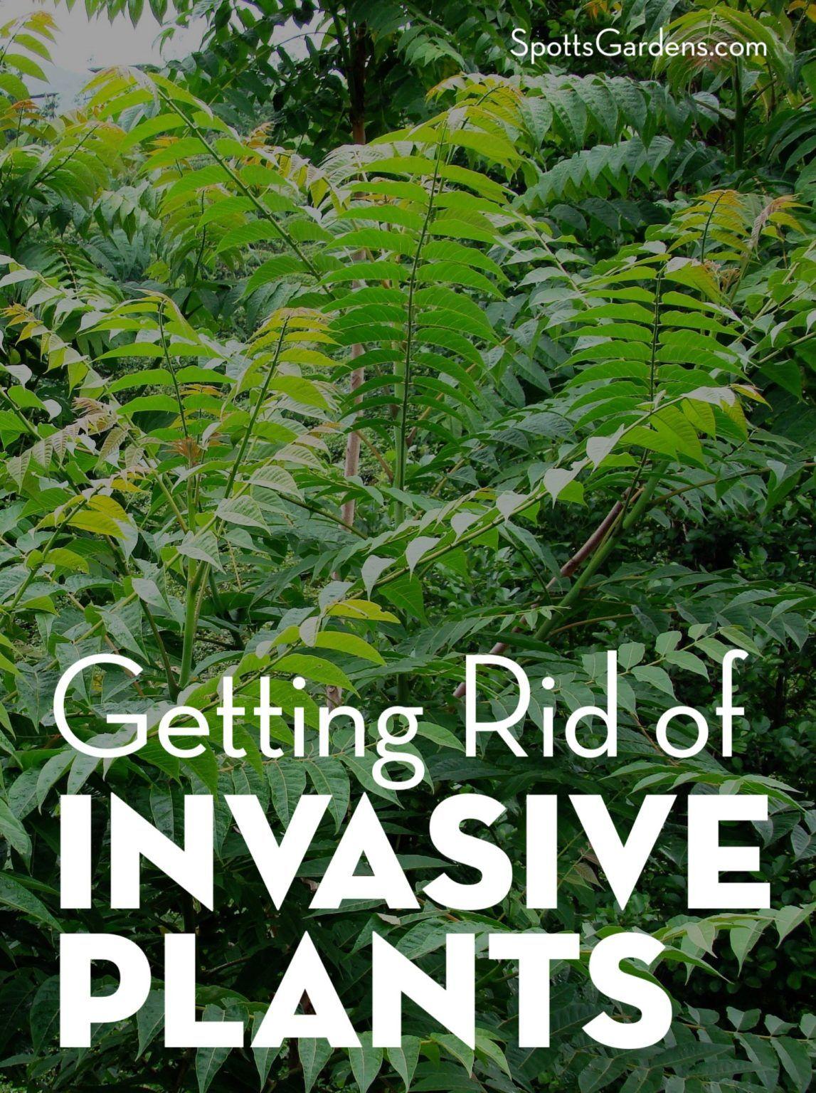 Getting rid of invasive plants spotts garden service in