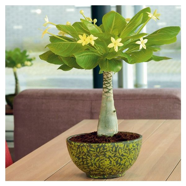Hawaii palme sonniger standort p plants pinterest plants - Zimmerpflanzen sonniger standort ...
