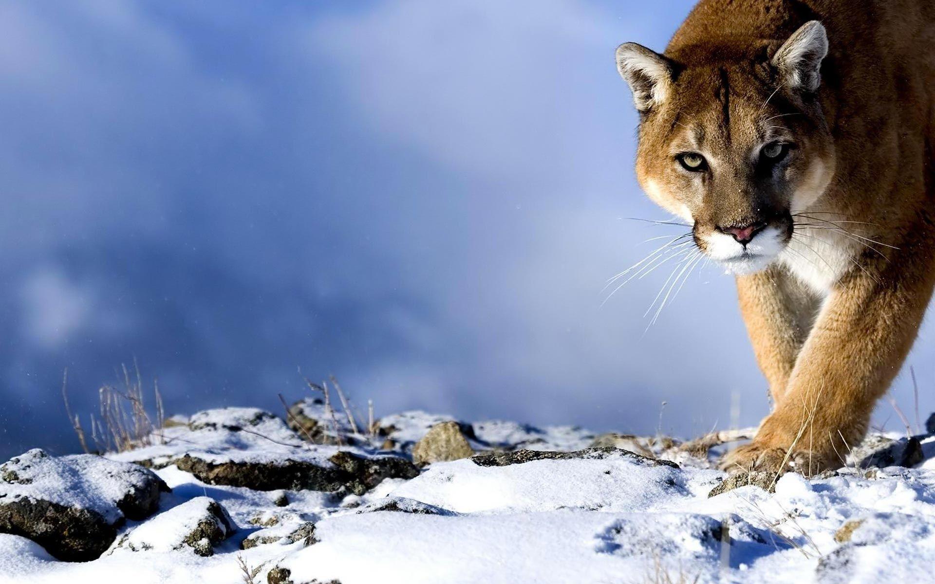 Mountain Lion Mountain Lion Animal Wallpaper Animals