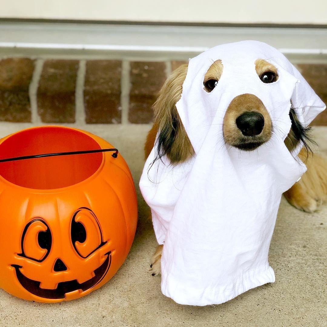 Dachshund Dog Halloween Costumes Dog Halloween Costumes Halloween