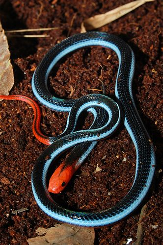 Blue Malaysian Coral Snake Coral Snake Snake Reptile Snakes