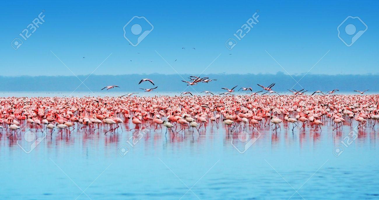 African safari, flamingos in the lake Nakuru, Kenya (migration)