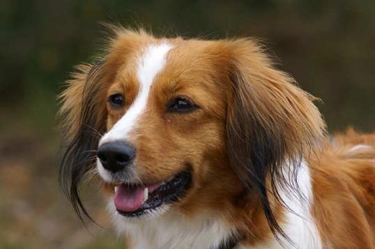 Kooiker Honden Dieren