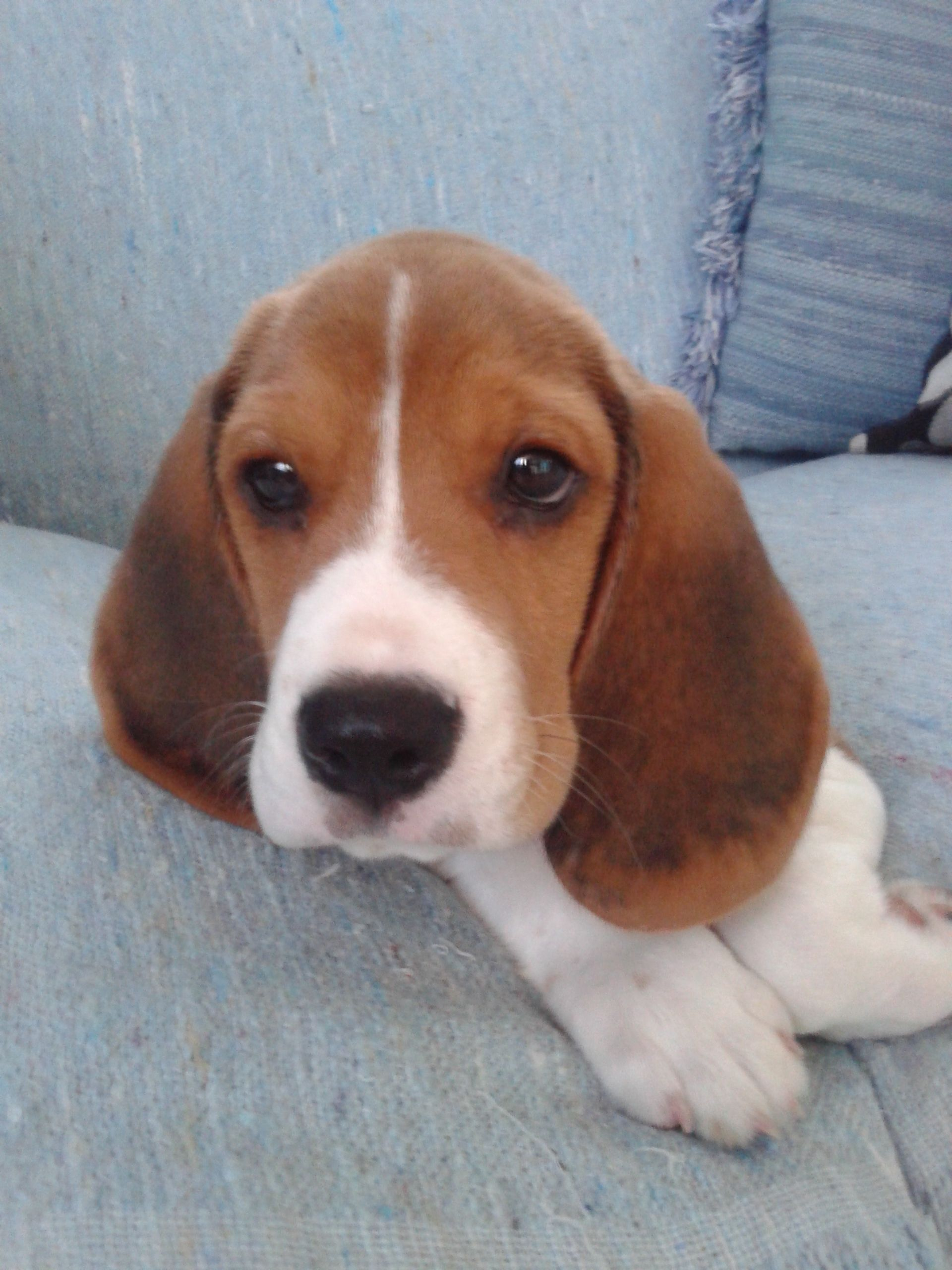 Beagle Teo With Images Beagle Beautiful Dogs Cute Animals