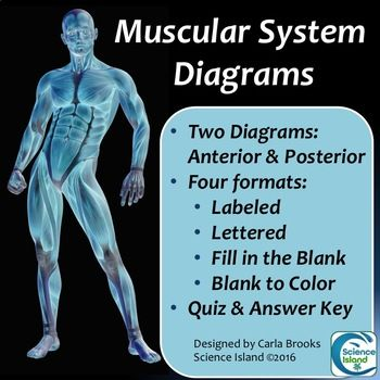Muscular System Diagrams: Study, Label, Quiz & Color | Skeletal ...