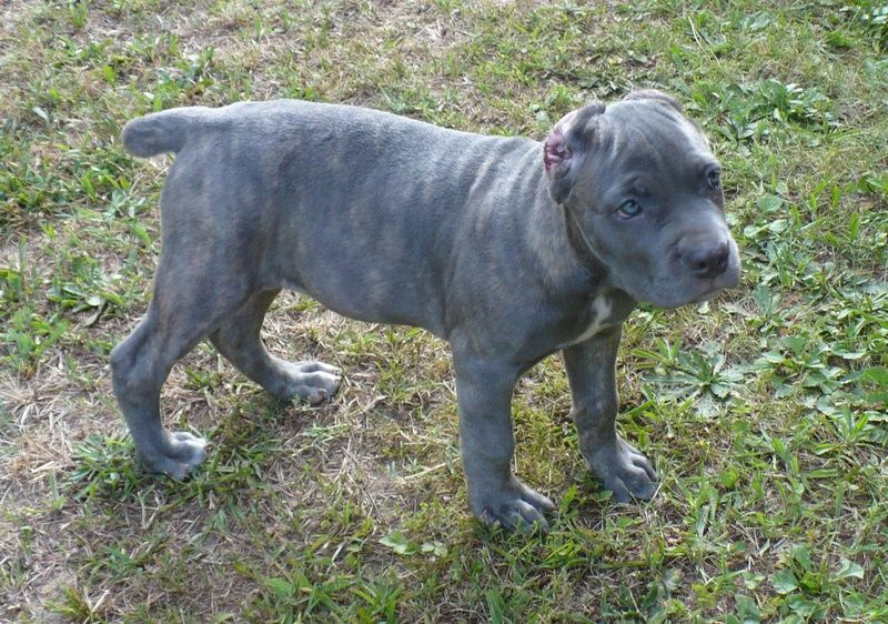 Puppy Pictures 2 Cane Corso Cute Baby Animals Cane Corso Puppies
