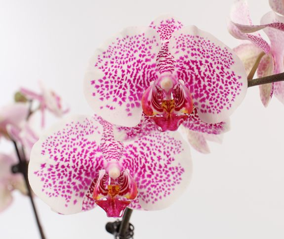 Diy Orchid Inspiration Phalaenopsis Orchid Care Orchid Diseases Orchid Care