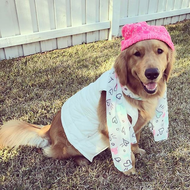 No Golden Retriever Should Have To Wear Clothes They Are All