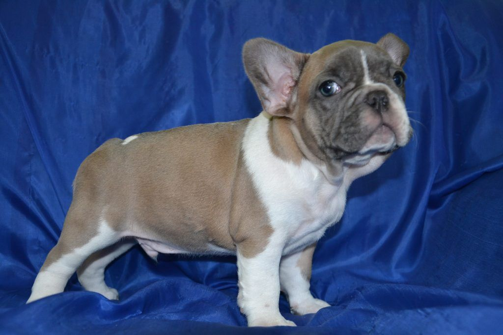 French Bulldog Puppies Los Angeles Ca For Sale French Bulldog