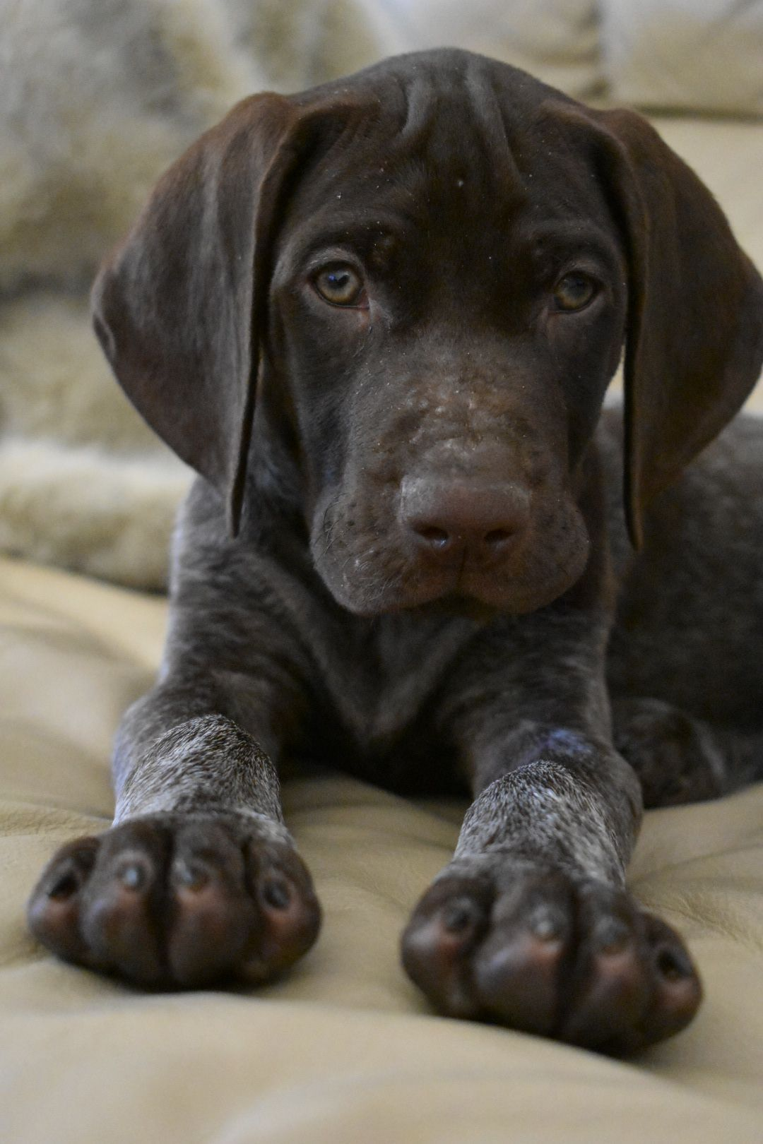 German Shorthaired Pointer Smart Friendly Dog Breeds Medium Gsp Puppies Dog Breeds