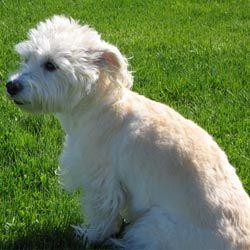 Westiepoo Westiepoo Westie Terrier Puppies