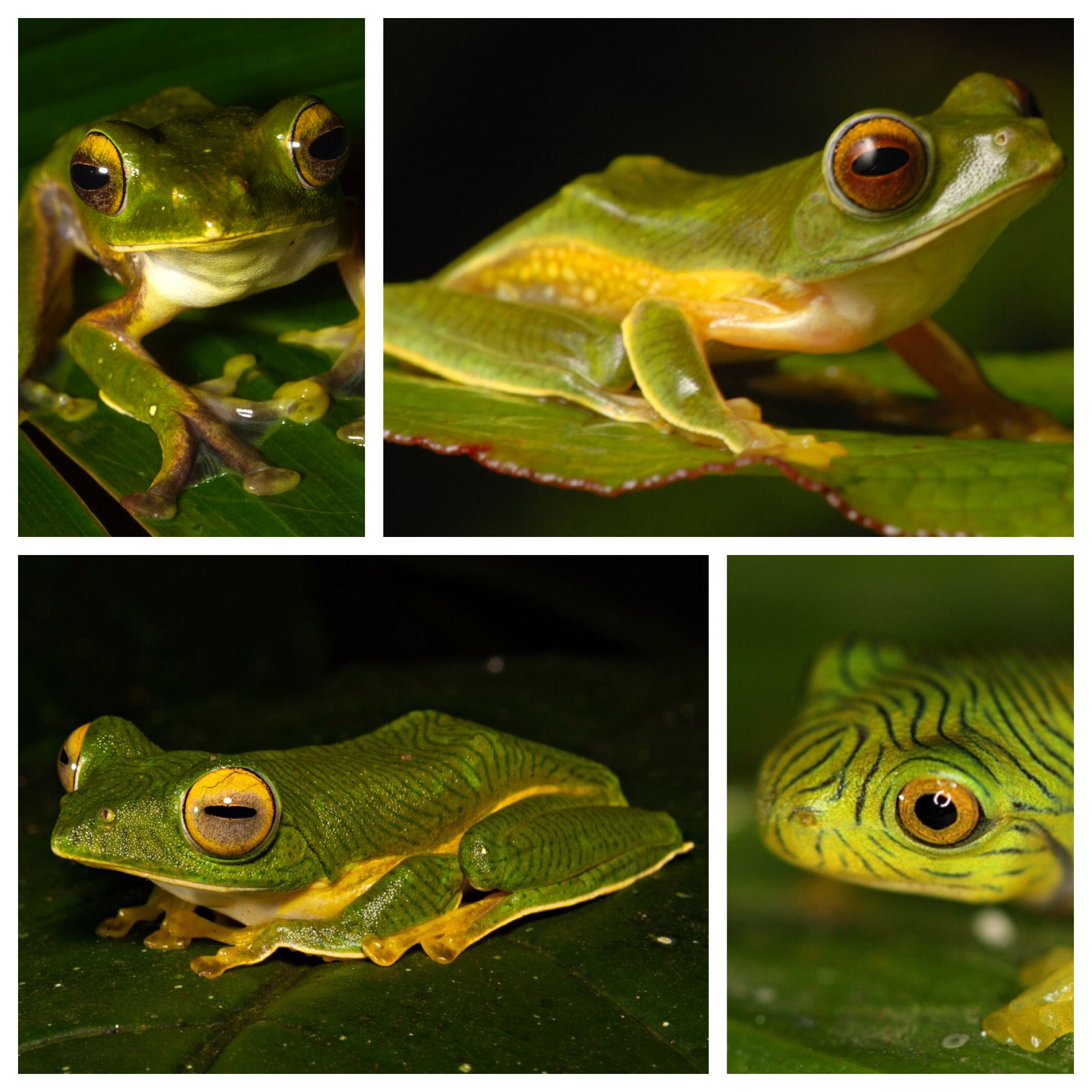 Rhacophorus pseudomalabaricus is a species of frog in the
