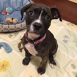 Accident Maryland Pit Bull Terrier Meet Charlee A For Adoption