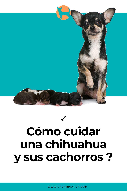 La Guía Definitiva De Cómo Cuidar Un Perro Chihuahua Perros Chihuahua Chihuahua Perros Recien Nacidos