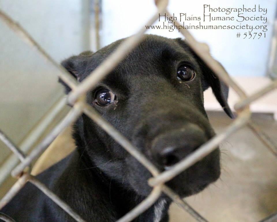 Labrador retriever rescue new mexico