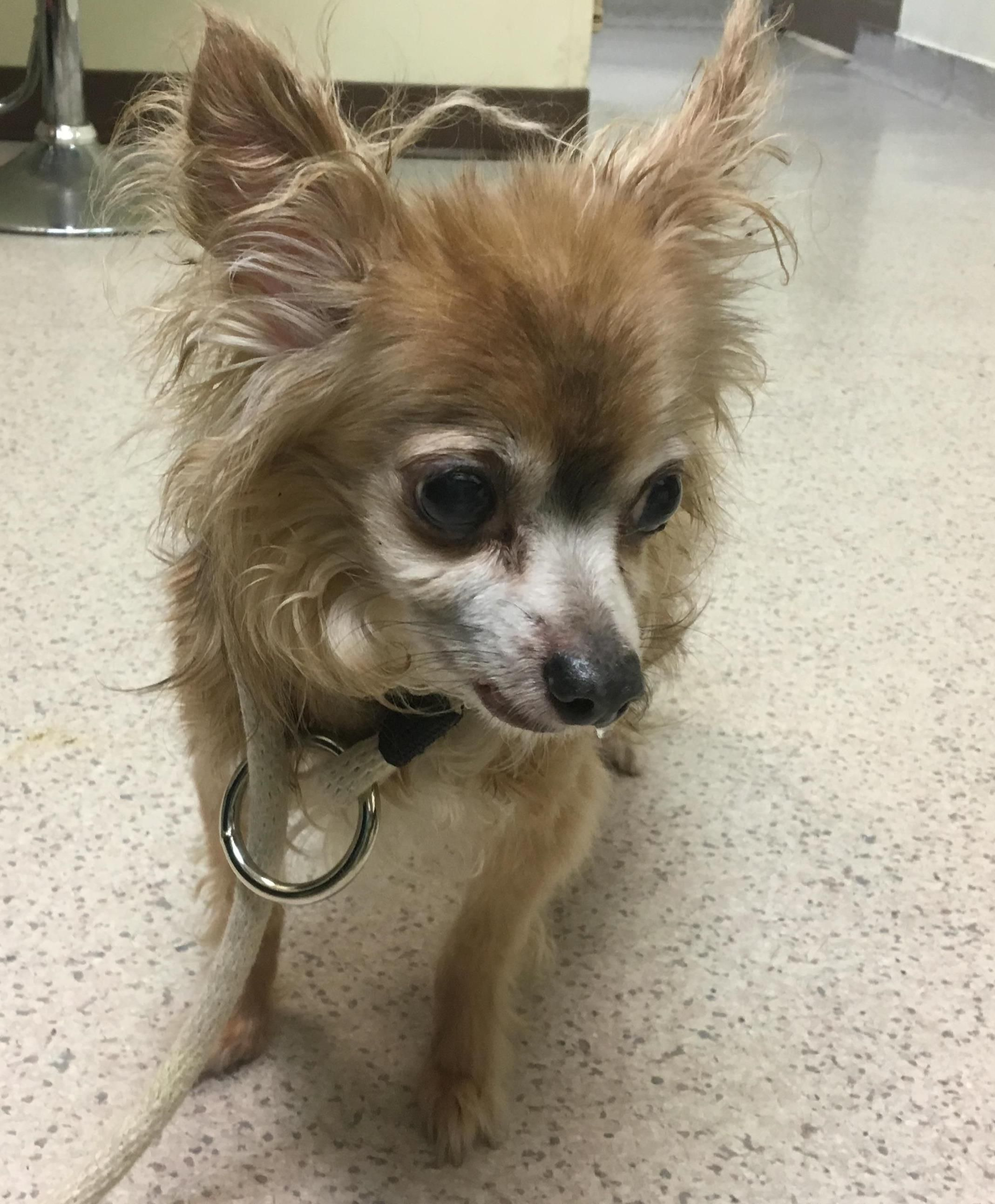 Gigantor Id 41021 Chihuahua Male 10yrs Old At Manhattan Acc Dog Photography Pet Care Animals