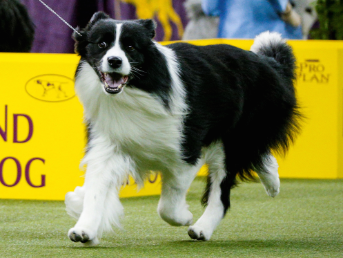 Slick The Border Collie Was Indeed Looking Sleek At The 142nd Westminster Show Brendan Mcdermid Reuters Bordercollie Westminster Dog Show Dog Show Dogs