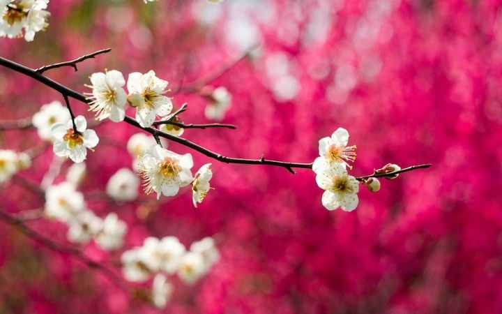 Blooming flowers white branches spring pink background hd spring blooming flowers white branches spring pink background hd mightylinksfo