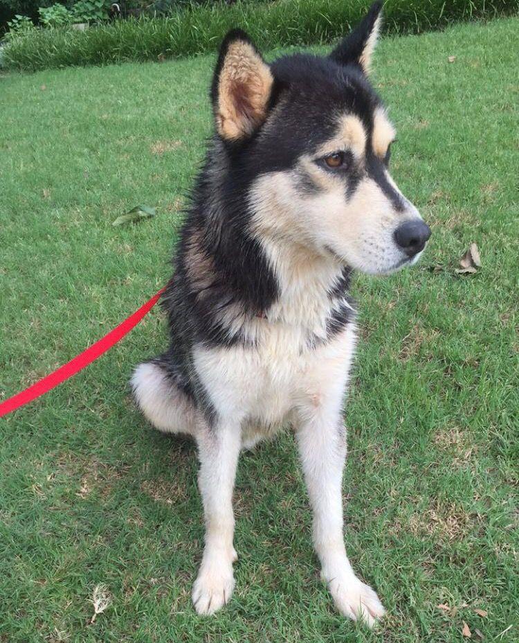 Found Dog Siberian Husky Snellville Ga United States Dogs