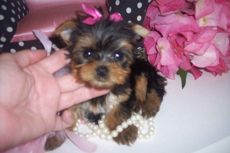 Tiny Teacup Yorkies For X Mas Teacup Yorkie Puppy Yorkie Puppy Teacup Yorkie
