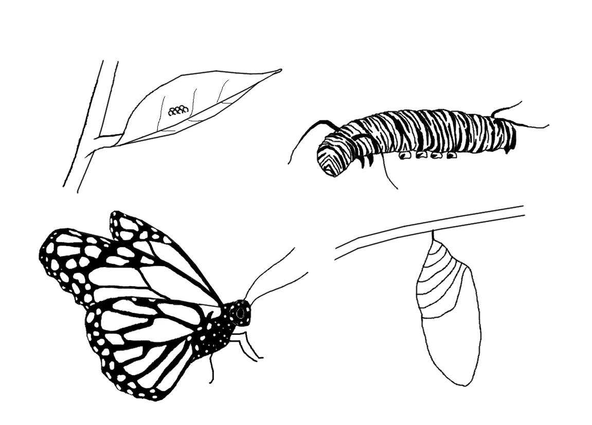 Butterfly Life Cycle Coloring Page Butterfly Coloring Page