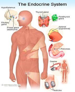 Biology Endocrine System Anatomy Diagram Endocrine System Endocrine Cardiovascular System