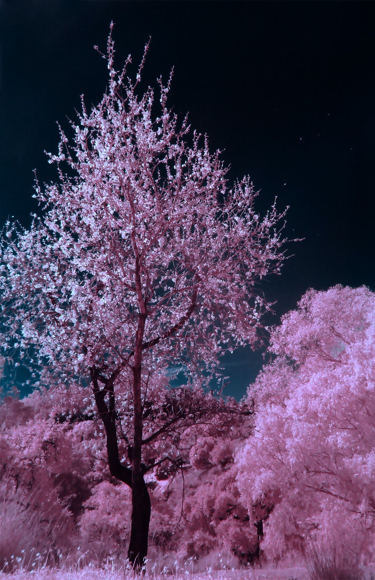 Pink And Brown Cherry Blossom Tree During Nighttime Photo Free Flower Image On Unsplash Cherry Blossom Tree Blossom Trees Cherry Blossom