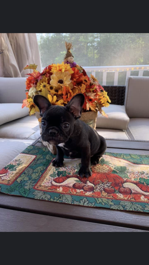 Price Reduced Fawn French Bulldog French Bulldog For Sale Puppies For Sale