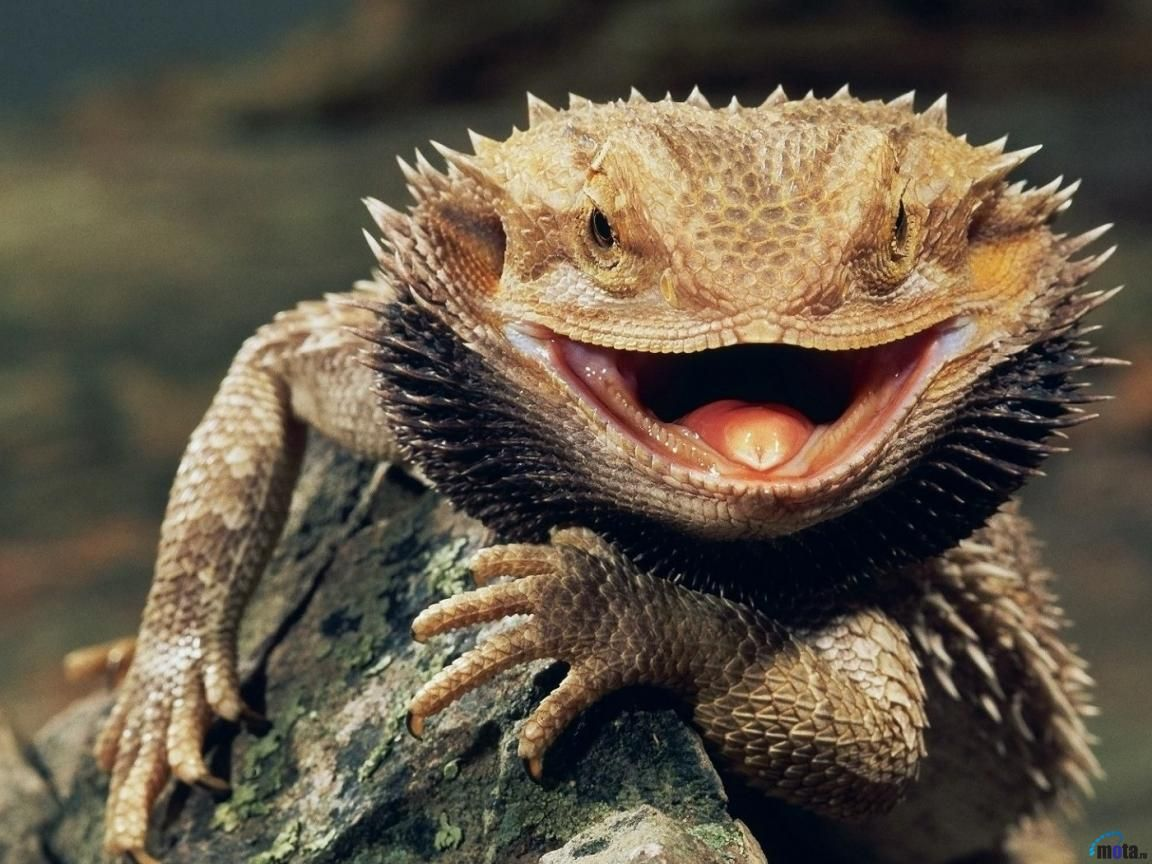 El dragón barbudo (Pogona vitticeps)   dragon   Pinterest   El ...