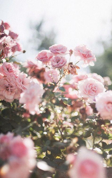 Lock Screen Flowers Love Flowers Pink Flowers