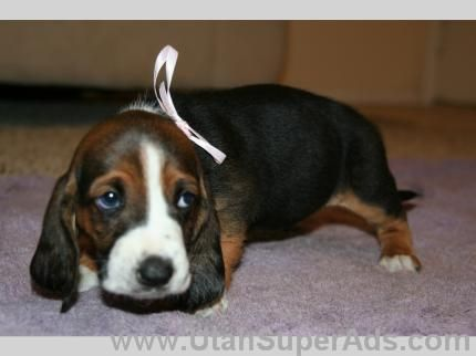 Basset Hound Puppies For Sale In Utah Ut Free Utah Superads