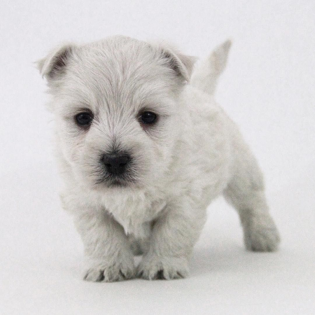 Pin On Terrier Poodle Mix Breeds