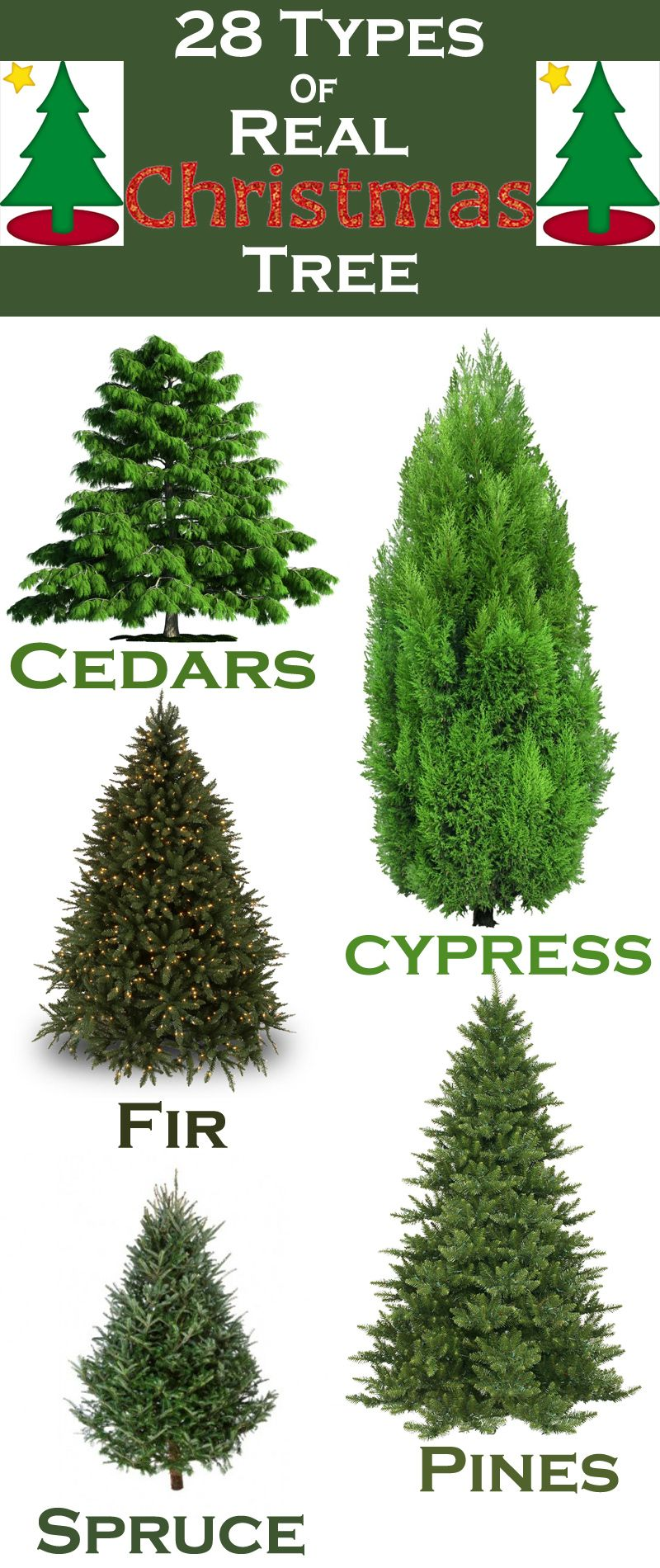 Christmas Tree Types.28 Types Of Real Christmas Trees Around The World Real