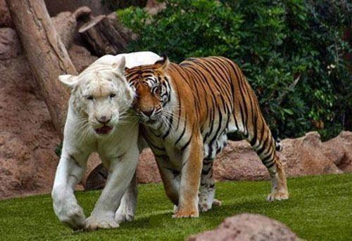 Tigre Branco // Tigre Fêmea // <3