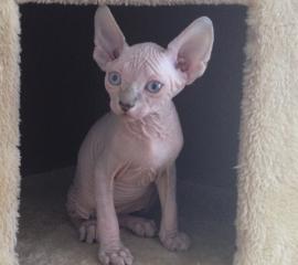 Available Hairless Kittens Sphynx Kittens For Sale Sphynx Kittens Sand Marcos Ca Hairless Kitten Sphynx Kittens For Sale Hairless Cat