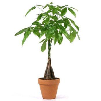 Money Trees Terracotta Pot From Easternleaf Com Money Tree Plant Trees To Plant Money Trees